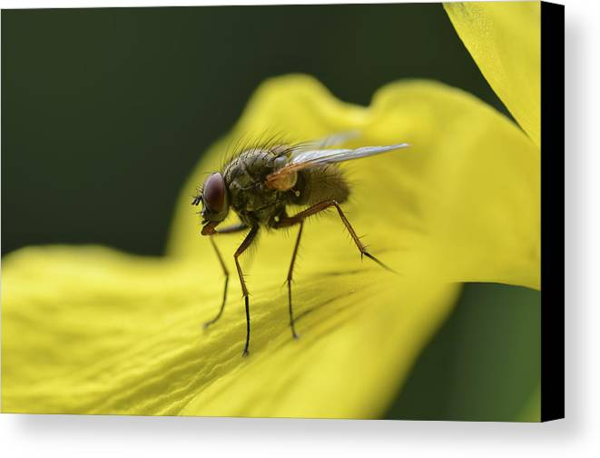 Fly Canvas Print featuring the photograph A Fly by Perry Wunderlich