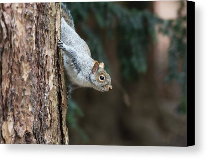 Adventure Canvas Print featuring the photograph A Grey Squirrel Making It S Way by John Short