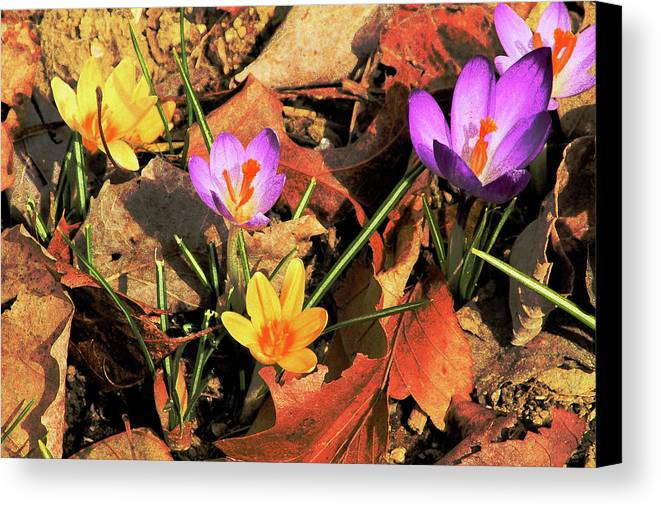 Flowers Canvas Print featuring the photograph A New Season Blooms by Karol Livote