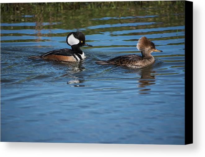 Ridgefield National Wildlife Refuge Canvas Print featuring the photograph A Pair Of Hooded Mergansers Lophodytes by Robert L. Potts