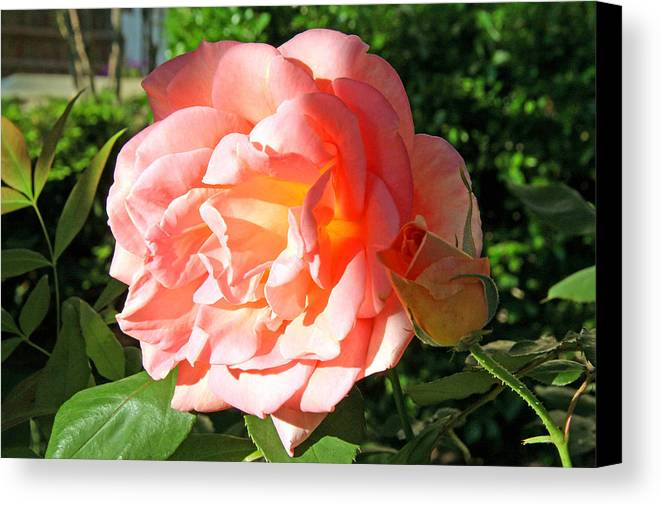 Rose Canvas Print featuring the photograph A Rose And A Rose by Cora Wandel