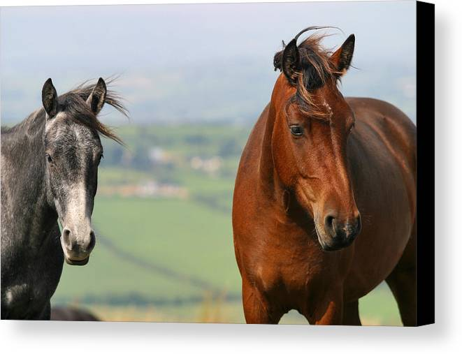 Horse Canvas Print featuring the photograph About Two Of Them... by Szalonaisa Photography
