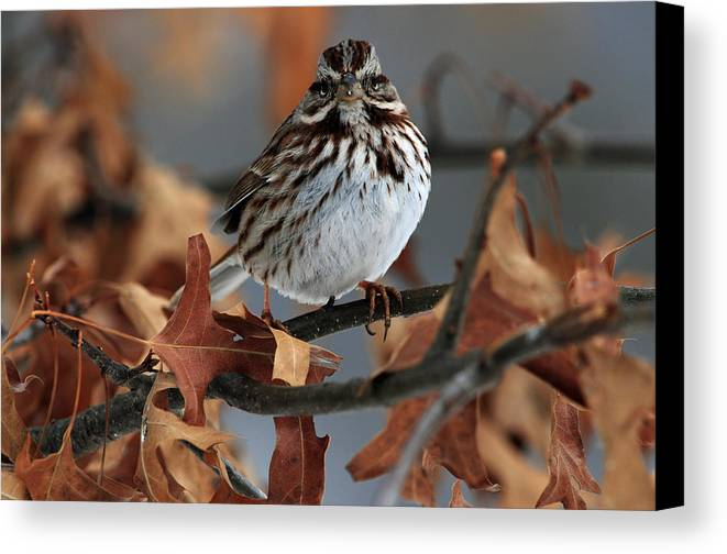 Bird Canvas Print featuring the photograph American Tree Sparrow No 2 by Mike Martin