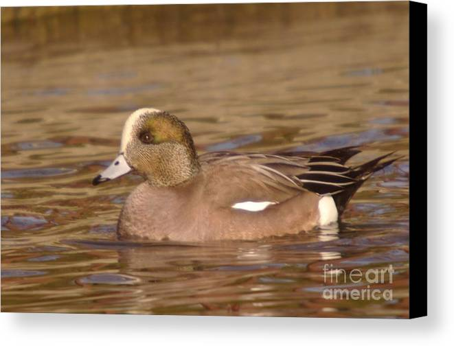 Ducks Canvas Print featuring the photograph American Wigeon by Jeff Swan