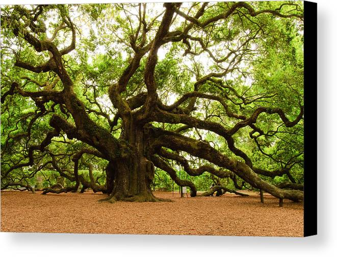 Tree Canvas Print featuring the photograph Angel Oak Tree 2009 by Louis Dallara