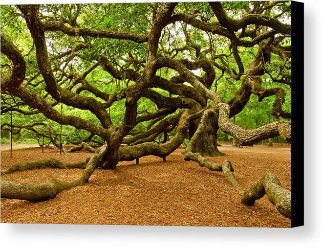 Nature Canvas Print featuring the photograph Angel Oak Tree Branches by Louis Dallara