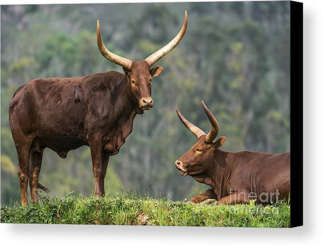 Watusi Canvas Print featuring the photograph Ankole Longhorns by Arterra Picture Library