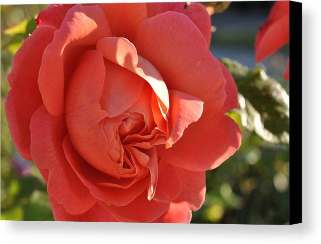 Rose Canvas Print featuring the photograph Another Summer Song by Sabine Edrissi