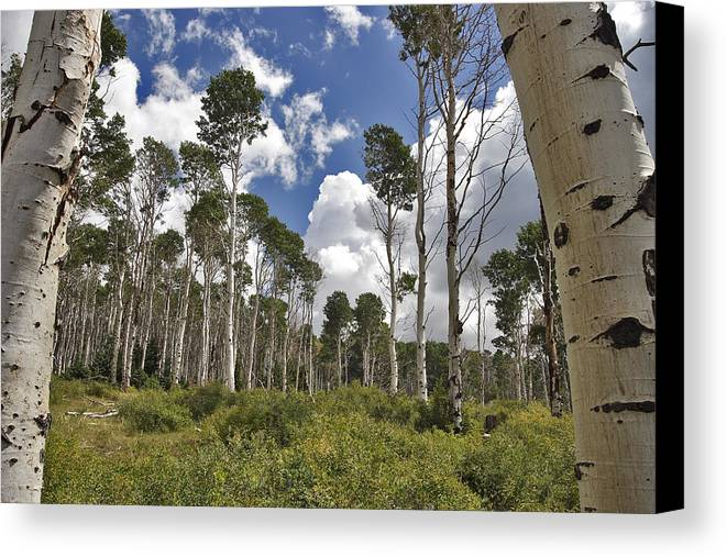 3scape Canvas Print featuring the photograph Aspen Grove by Adam Romanowicz