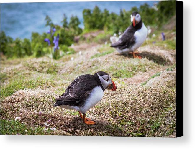 Nobody Canvas Print featuring the photograph Atlantic Puffins by Paul Williams