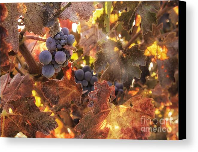 Michele Canvas Print featuring the photograph Autumn In The Vineyard by Michele Steffey