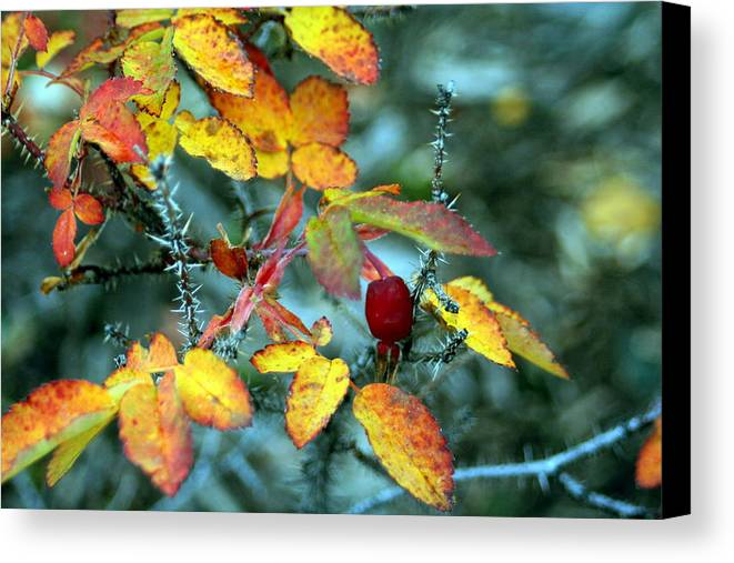 Autumn Canvas Print featuring the photograph Autumn Rose by Laurel Gillespie