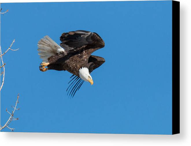 Eagle Canvas Print featuring the photograph Bald Eagle Launches Into The Clear Sky by Tony Hake