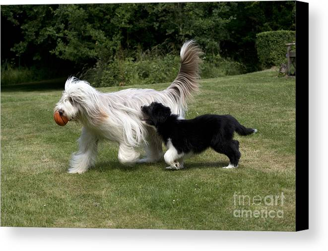 Bearded Collie Canvas Print featuring the photograph Bearded Collies Playing by John Daniels
