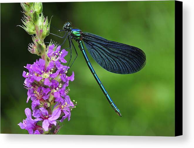 Feb0514 Canvas Print featuring the photograph Beautiful Demoiselle Male Switzerland by Thomas Marent