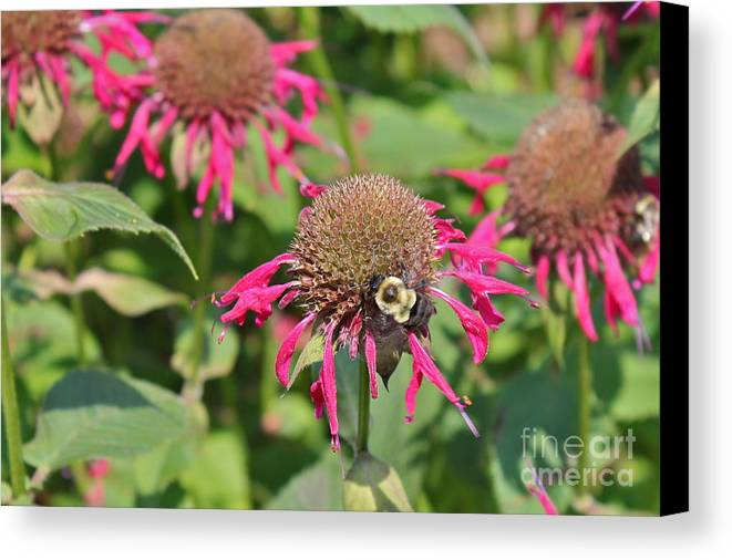 Bee Balm Canvas Print featuring the photograph Bee Balm 5 by Marie Spence