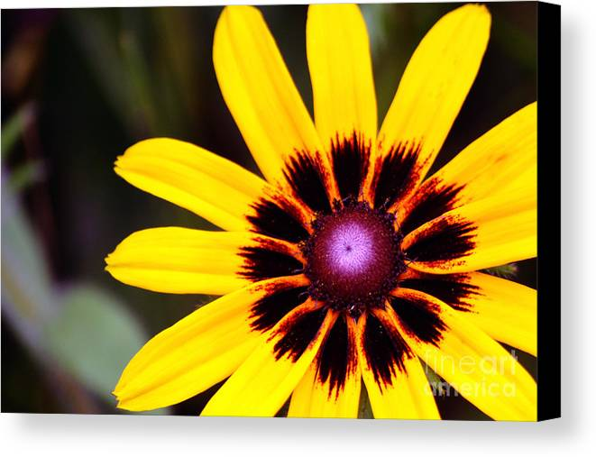 Yellow Canvas Print featuring the photograph Black Eyed Susan 3 by Kevin Fortier
