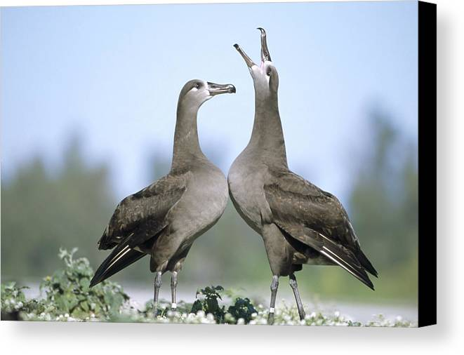 Feb0514 Canvas Print featuring the photograph Black-footed Albatross Courtship Dance by Tui De Roy