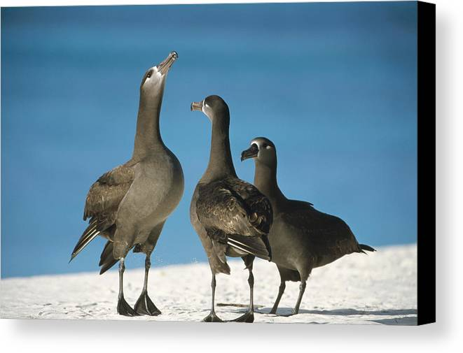Feb0514 Canvas Print featuring the photograph Black-footed Albatross Gamming Group by Tui De Roy