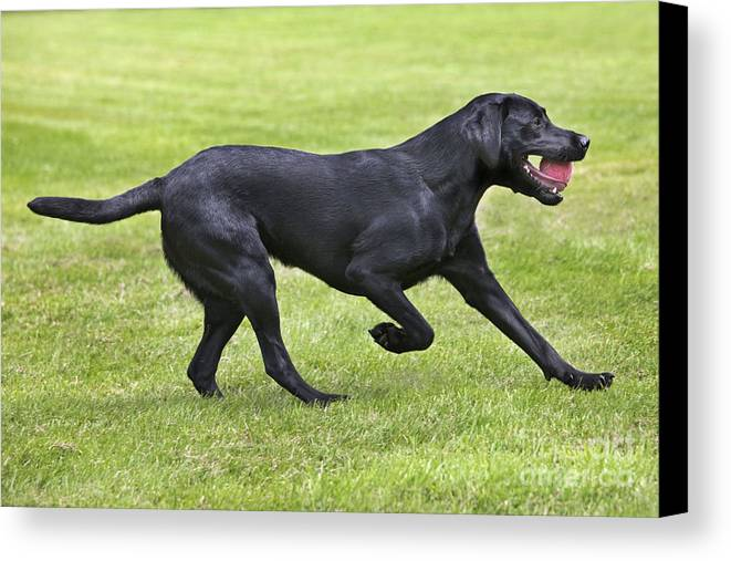 Labrador Retriever Canvas Print featuring the photograph Black Labrador Playing by Johan De Meester