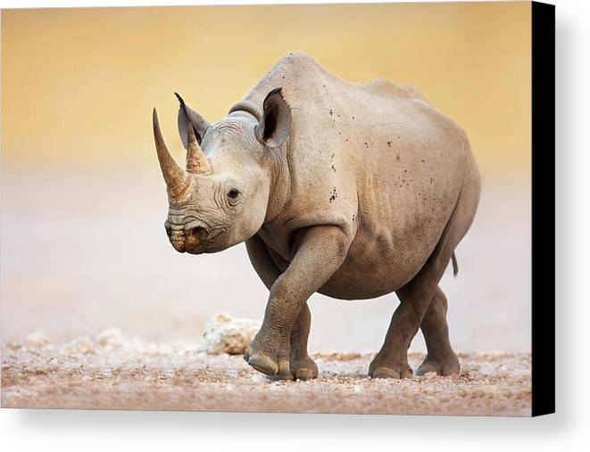 Square-lipped Canvas Print featuring the photograph Black Rhinoceros by Johan Swanepoel