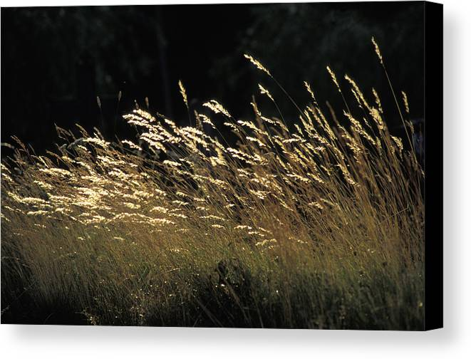 Photographic Canvas Print featuring the photograph Blades Of Grass In The Sunlight by Jim Holmes