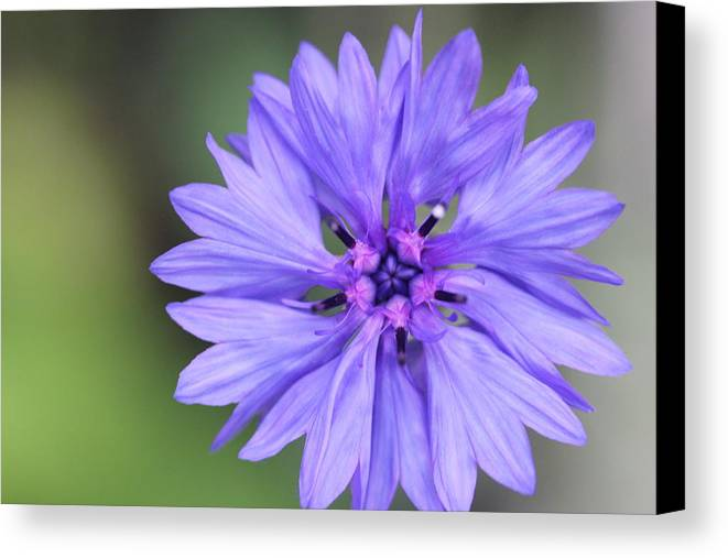 Blue Flower Canvas Print featuring the painting Blue Button by Ruth Kamenev