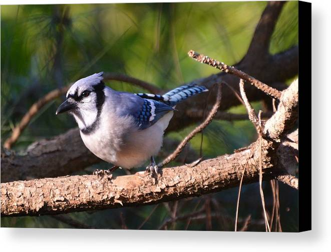 Nature Canvas Print featuring the photograph Blue Jay by Rosanne Ricard