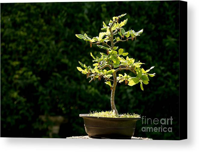 Bonsai Canvas Print featuring the photograph Bonsai by Jane Rix
