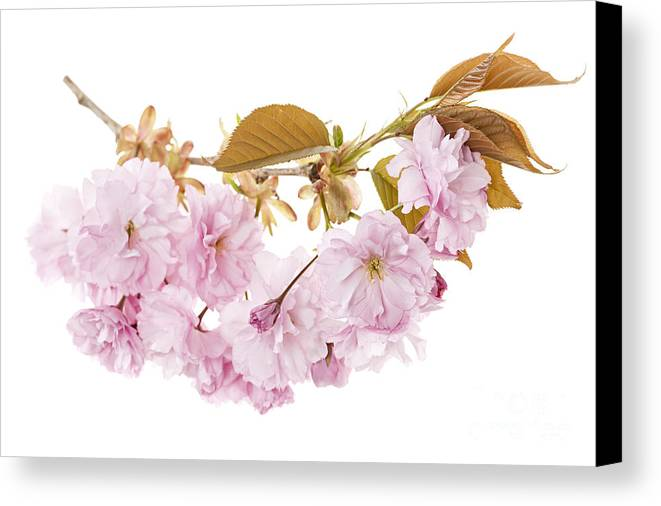 Cherry Canvas Print featuring the photograph Branch With Cherry Blossoms by Elena Elisseeva
