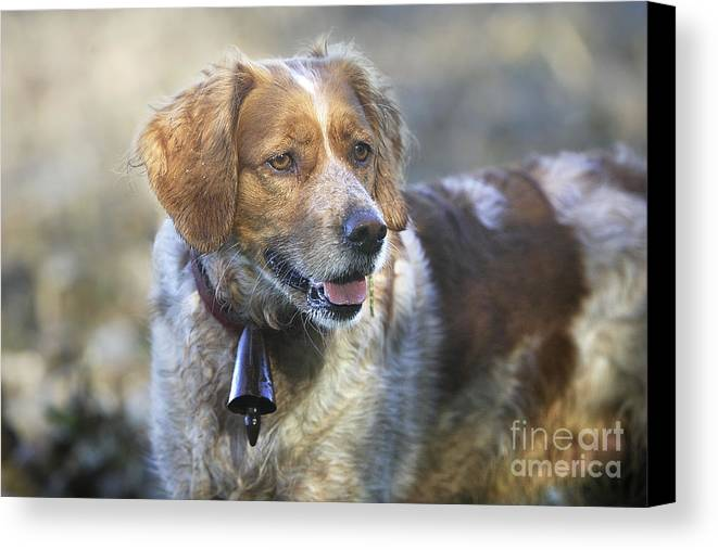 Brittany Spaniel Canvas Print featuring the photograph Brittany Spaniel by M. Watson