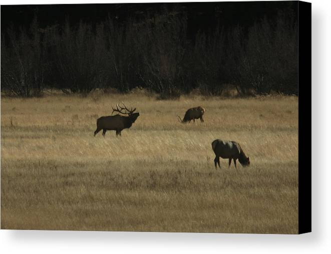 Elk Canvas Print featuring the photograph Bugle by Rob McCauley