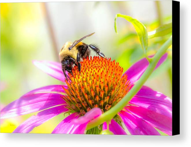 Bees Canvas Print featuring the photograph Bumble Bee by Bob Orsillo
