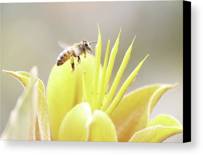 Bee Canvas Print featuring the photograph Busy Bee by Luna Curran