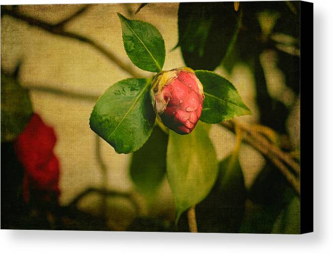 Camellia Canvas Print featuring the photograph Camellia by Marco Oliveira