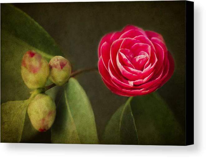 Camellia Canvas Print featuring the photograph Camellia by Rebecca Cozart