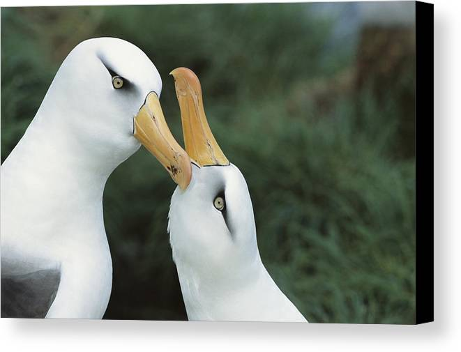 Feb0514 Canvas Print featuring the photograph Campbell Albatrosses Courting Campbell by Tui De Roy