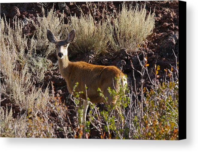 Black Mesa Canvas Print featuring the photograph Capulon Doe by Charles Warren