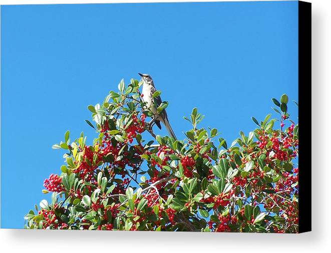 Florida Canvas Print featuring the photograph Catbird by Alan Lampson
