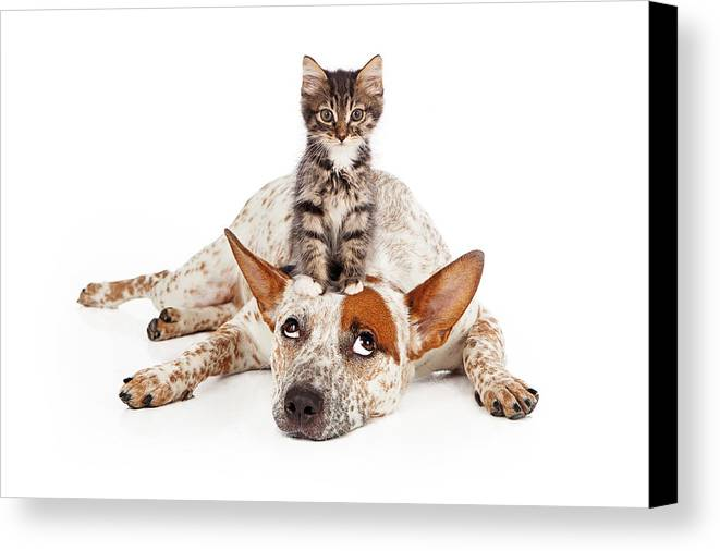 Animal Canvas Print featuring the photograph Catte Dog With Kitten On His Head by Susan Schmitz