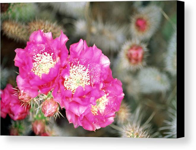 Cactus Canvas Print featuring the photograph Catus Trio by Todd Roach