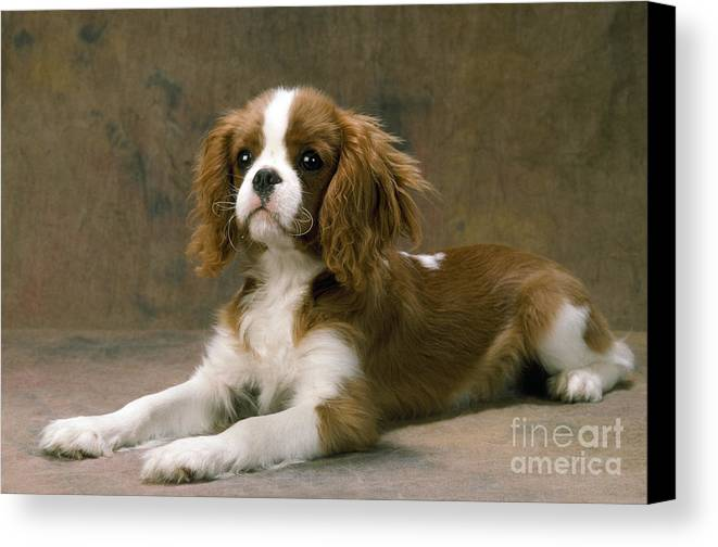 Cavalier King Charles Canvas Print featuring the photograph Cavalier King Charles Spaniel Dog Lying by John Daniels