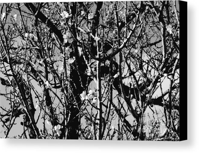 Monochrome Canvas Print featuring the photograph Cherry Blossom by Cassandra Buckley