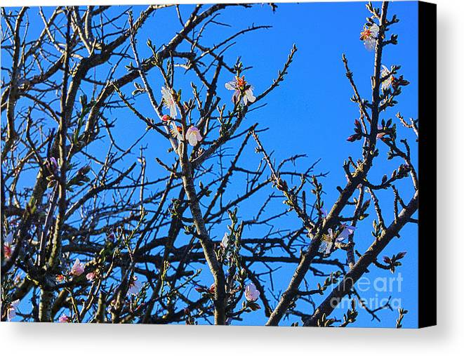 Cherry Blossom Canvas Print featuring the photograph Cherry Blossom II by Cassandra Buckley