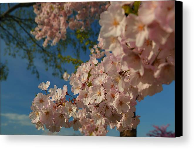 Architectural Canvas Print featuring the photograph Cherry Blossoms 2013 - 035 by Metro DC Photography