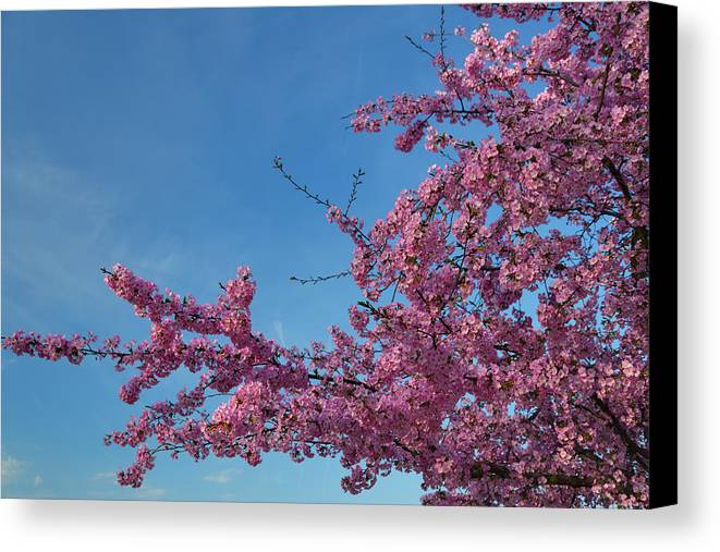 Architectural Canvas Print featuring the photograph Cherry Blossoms 2013 - 037 by Metro DC Photography