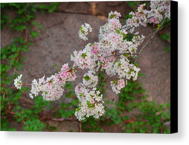 Architectural Canvas Print featuring the photograph Cherry Blossoms 2013 - 067 by Metro DC Photography