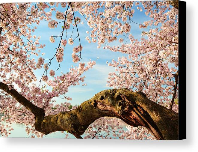 Architectural Canvas Print featuring the photograph Cherry Blossoms 2013 - 089 by Metro DC Photography