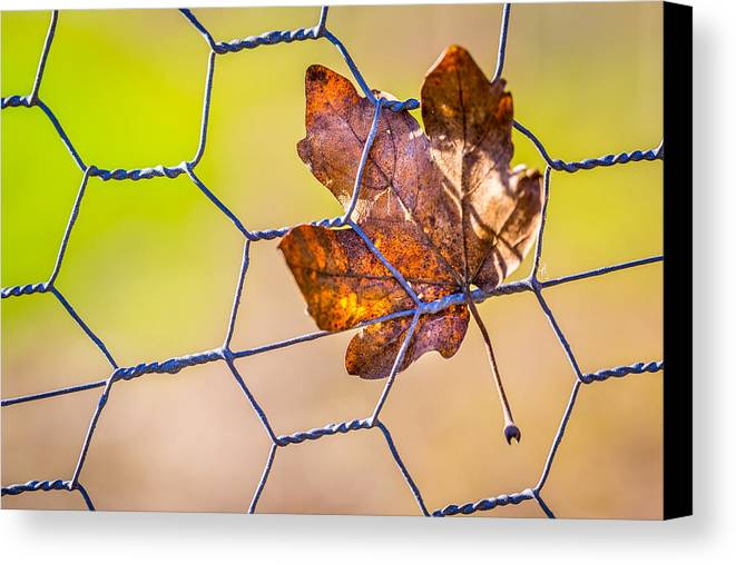Leaf Canvas Print featuring the photograph Chicken Wire Leaf. by Gary Gillette