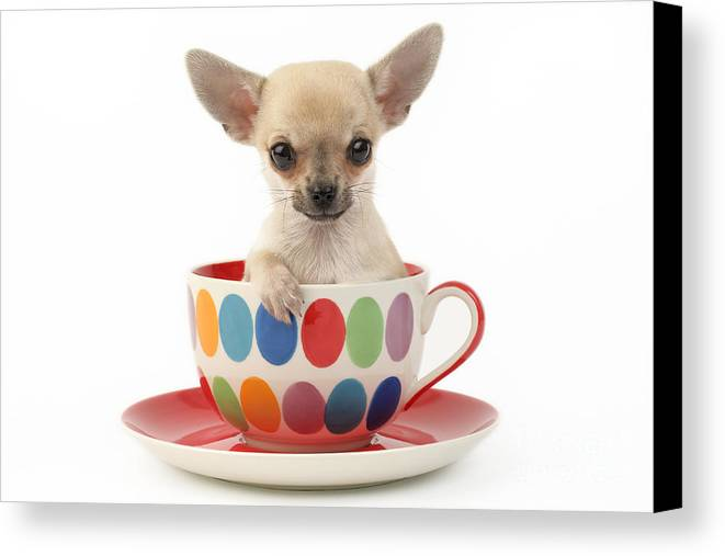 Chihuahua Canvas Print featuring the digital art Chihuahua In Cup Dp684 by Greg Cuddiford